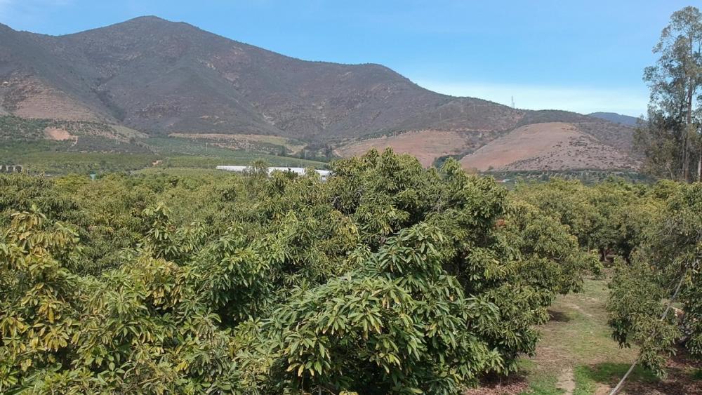 میوه آووکادو پرورشی در کشور شیلی